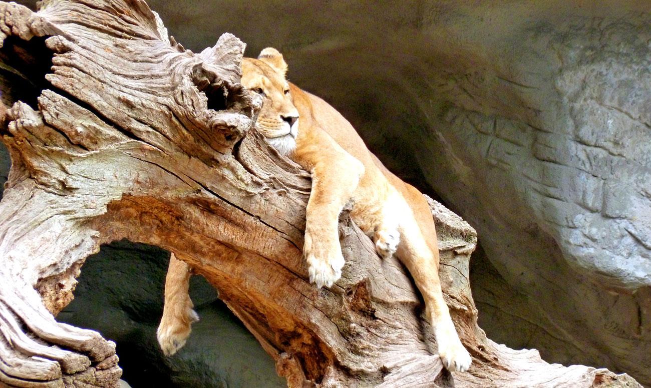 Fauler Löwe bei Gruppenarbeiten?